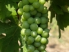 aglianico grapes