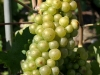Chasselas Grapes, Aigle - Switzerland