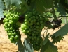 sangiovese-grapes-at-biondi
